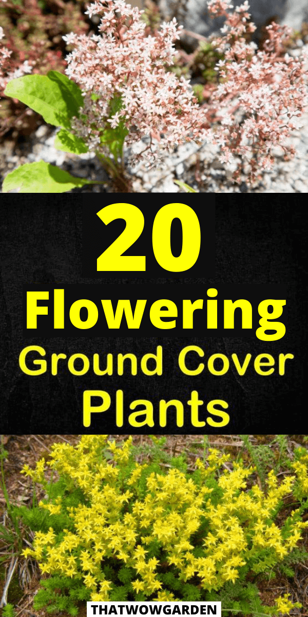 20 Best Flowering Ground Cover Plants Thatwowgarden Ground Cover Plants Ground Cover Plants