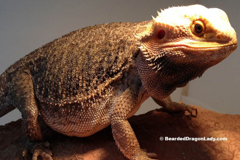 Burrowing Behaviour In Bearded Dragons With Images Bearded