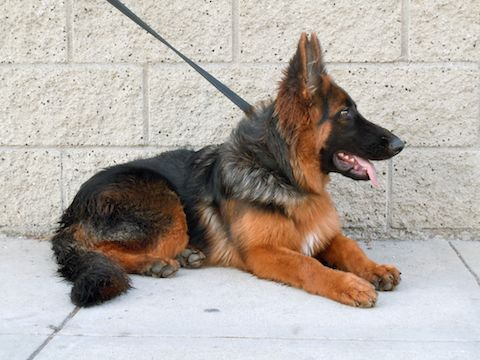 This Beautiful German Imported Akc Registered 6 Month Old Female