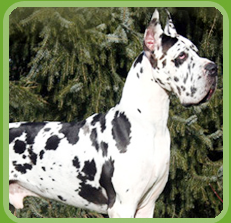 Dog For Sale In Delhi Puppies For Sale In India Labrador Puppy For Sale In Delhi Ncr Rottweiler Puppy Harlequin Great Danes Great Dane Dogs Large Dog Breeds