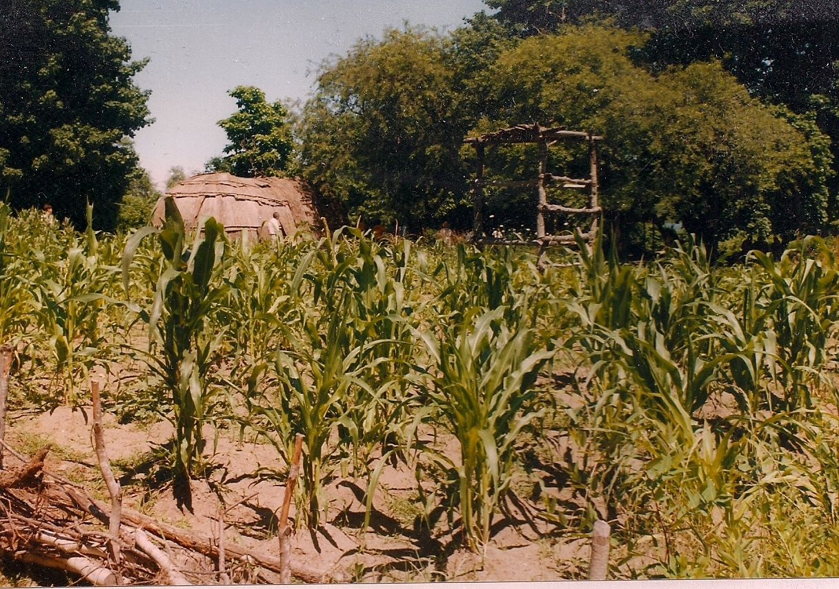 Native American Indian Corn Fields | The Tale of a Historical Garden ...