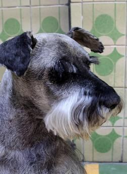 Miniature Schnauzer Dogs| Miniature Schnauzer Dog Breed Info & Pictures | petMD#