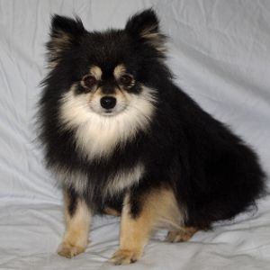 pomeranian colors tan black tan adult at 3 years dogs 2 pomeranian puppy 7039