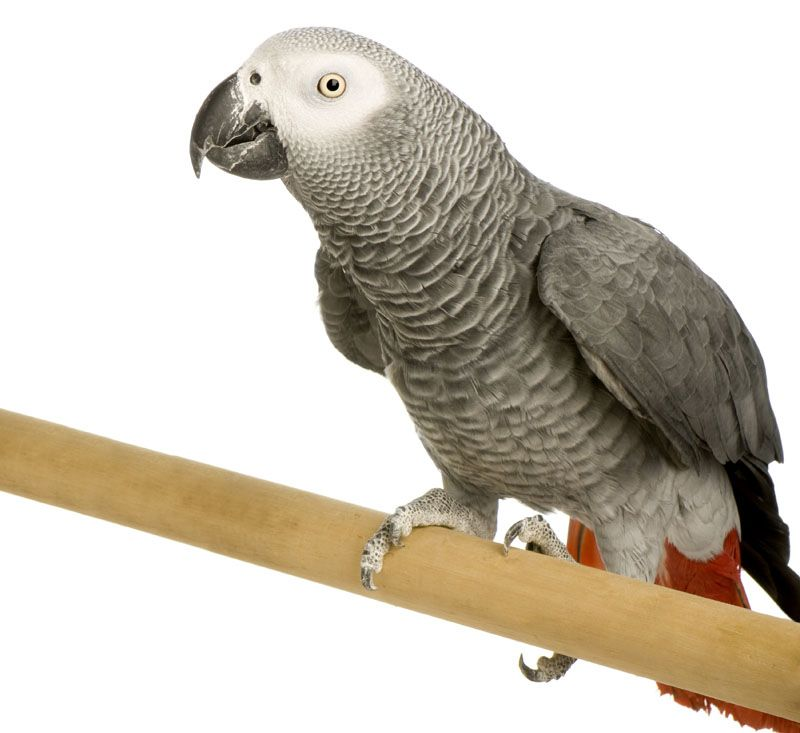 Keeping Your First Pet Parrot Parrots are fascinating, different and wonderful bird pets that will give much enjoyment, but in order to keep them happy and healthy, here are some of the basics on keeping your first pet parrot.  http://www.vet-portshepstone.co.za/keeping-your-first-pet-parrot/