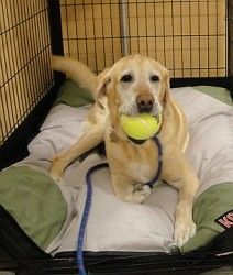 Romo is an adoptable Labrador Retriever Dog in Dallas, TX. Romo is new to our program, so we are just getting to know him. We already know that Romo really loves to play fetch. No tennis ball is safe ...