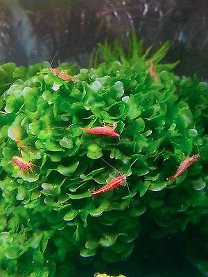 Lomariopsis Cf Lineata Freshwater Aquarium Plants Pet Shrimp Aquascaping Plants