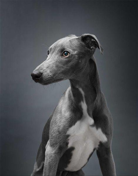 [8+] Small Greyhound Dog