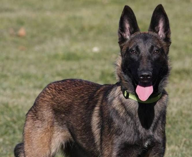 Pet Talk Belgian Malinois owners, breeders concerned