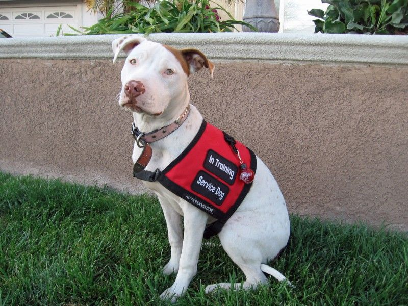 Bully breeds make great service dogs because they enjoy