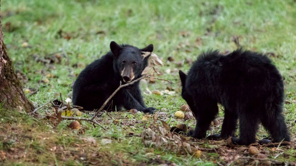 Bear cubs at Cades Cove, GSMNP