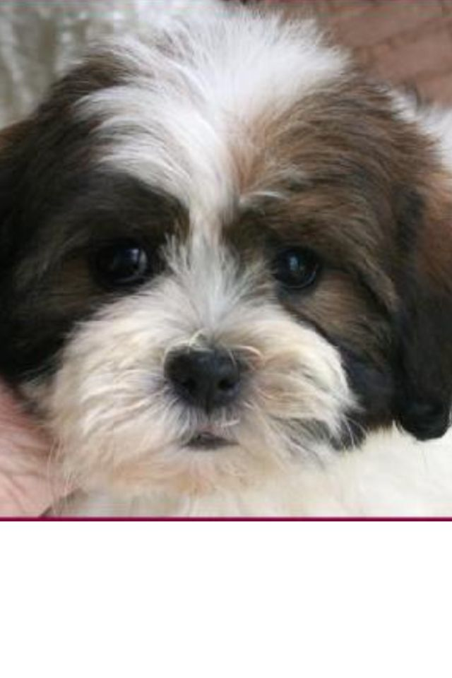 Kyi Leo Shichon Puppies Mixed Breed Puppies Puppies