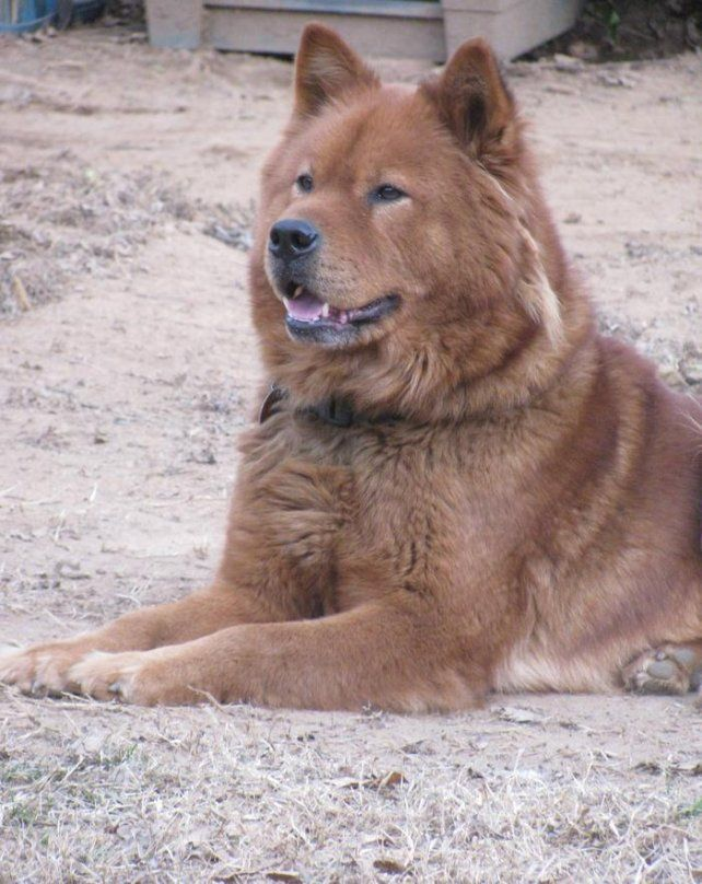 Good Looking Akita Chow Mix Chow Chow Dogs Akita Chow Chow Mix