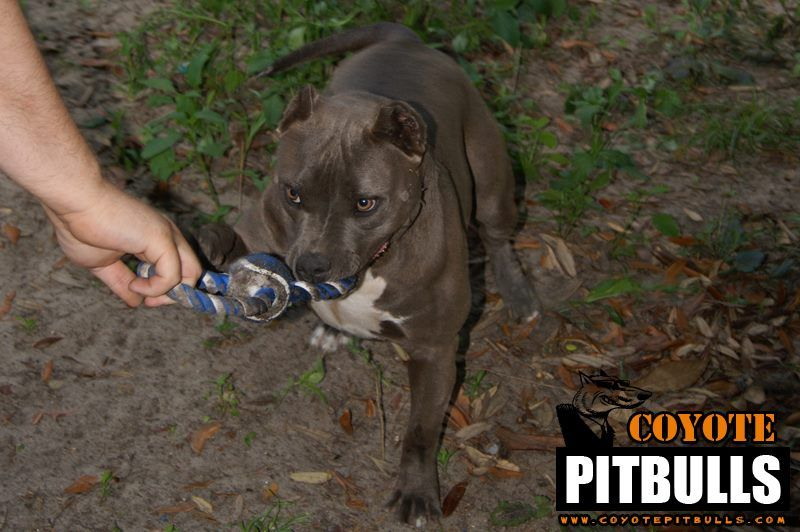 Bully Pitbull Karma Bully Pitbull American Bully Pitbull