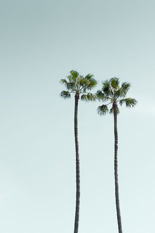 LOS ANGELES PALM TREES - PALMIERS CALIFORNIA
