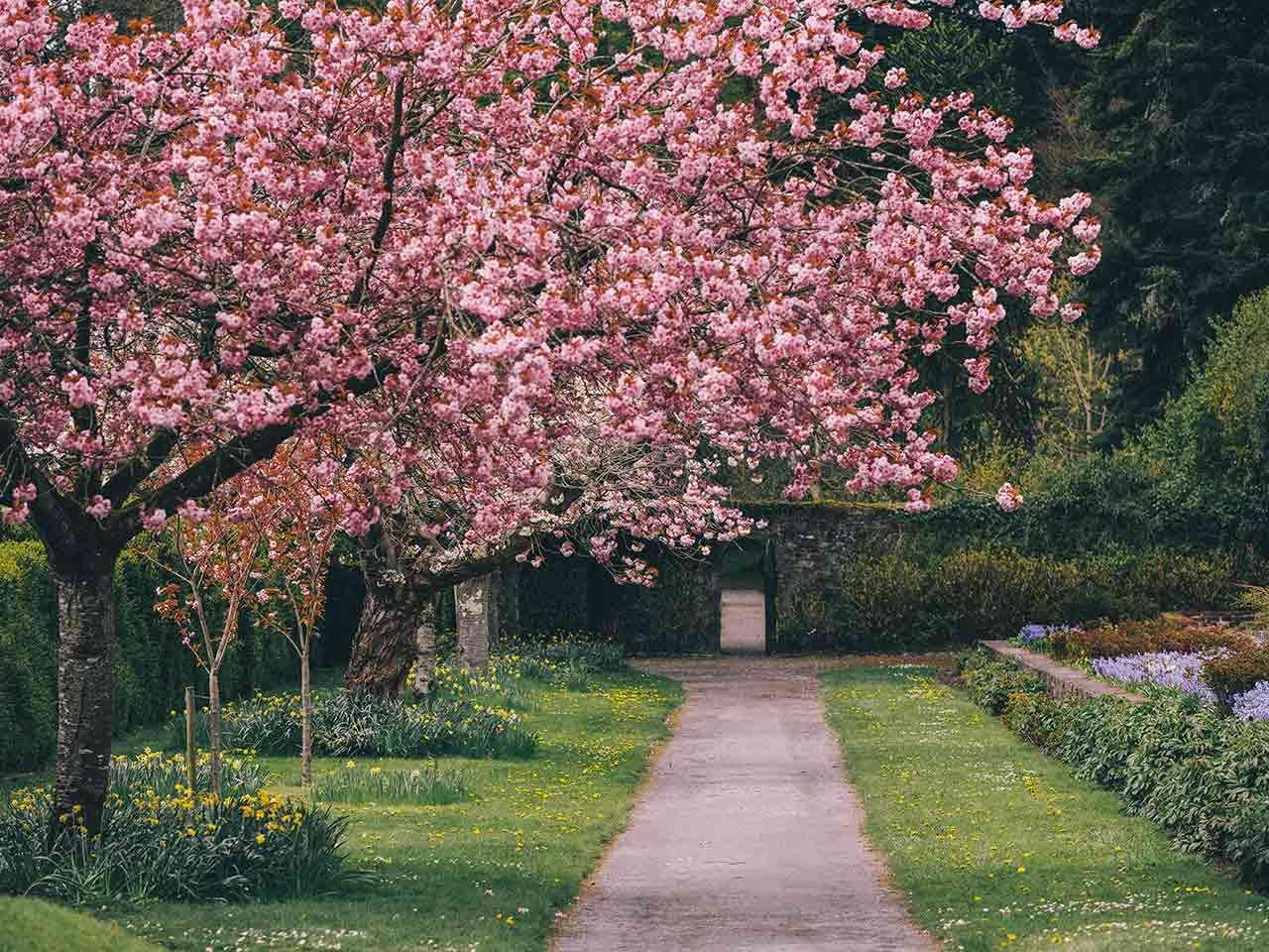 Cherry Blossom Tree At Birr Castle Demesne County Offaly Cherry Blossom Tree Castle