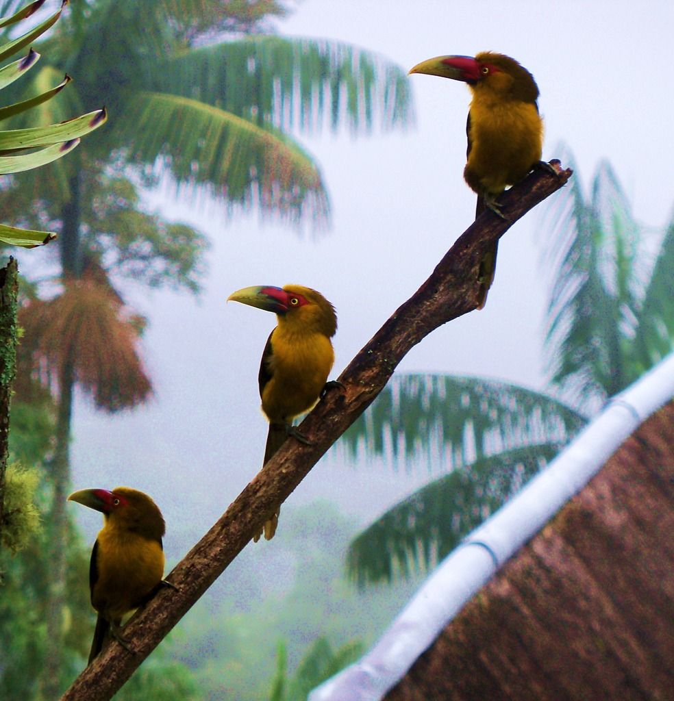 araçari-banana - Pteroglossus bailloni (Vieillot, 1819) --{ Birds }--