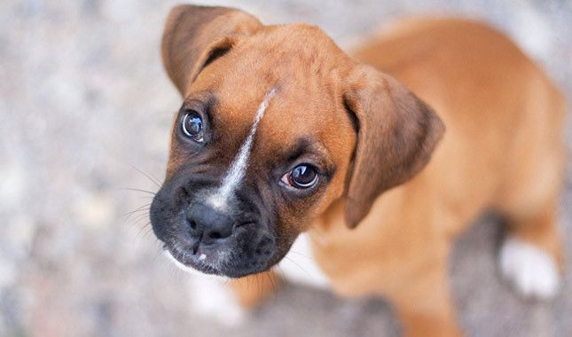 I think Bubba might need a brother or sister...adorable boxer