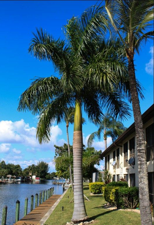 Different Types Of Palm Trees Florida Florida Palm Trees Palm Tree Types Florida Landscaping
