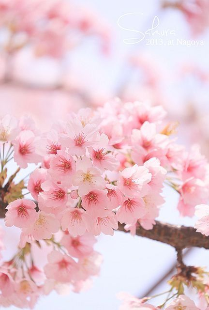 Sakura Flor Del Cerezo Small Pink Flowers Beautiful Pink Flowers Blossom Trees
