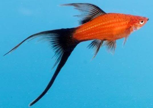Pin By Didik Rahadi On Platies And Swordtails Molly Fish Swordtail Fish Tropical Fish Aquarium
