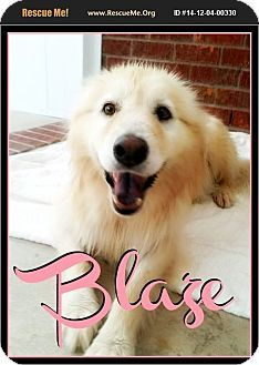 7 21 15 Pensacola Fl Samoyed Chow Chow Mix Meet Blaze A Dog