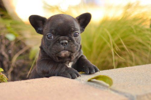 Akc French Bulldog Baby Boy Coal French Bulldog Cute Animals