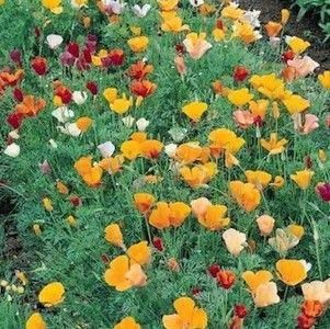 Single Mix California Poppy Seeds Garden Seeds Annual Flower