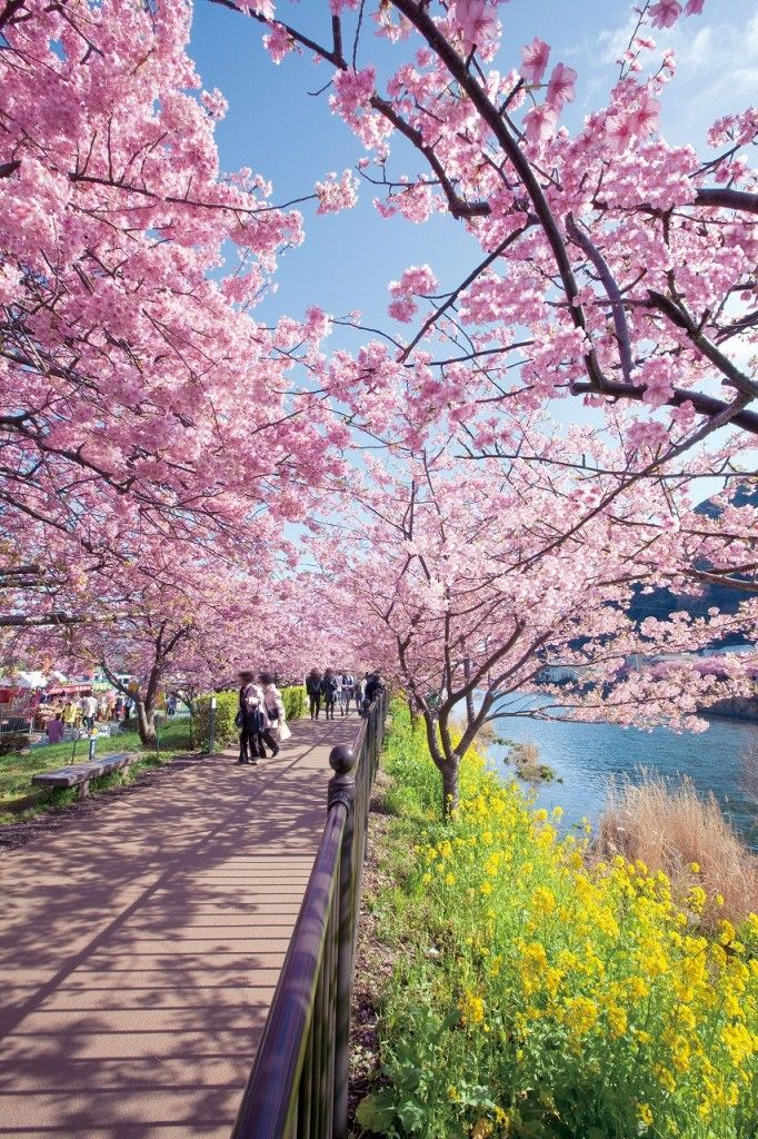 Japan Cherry Blossom Viewing In 2020 Best Dates Places To See Sakura In Japan Avenue One Cherry Blossom Japan Japan Japanese Cherry Blossom