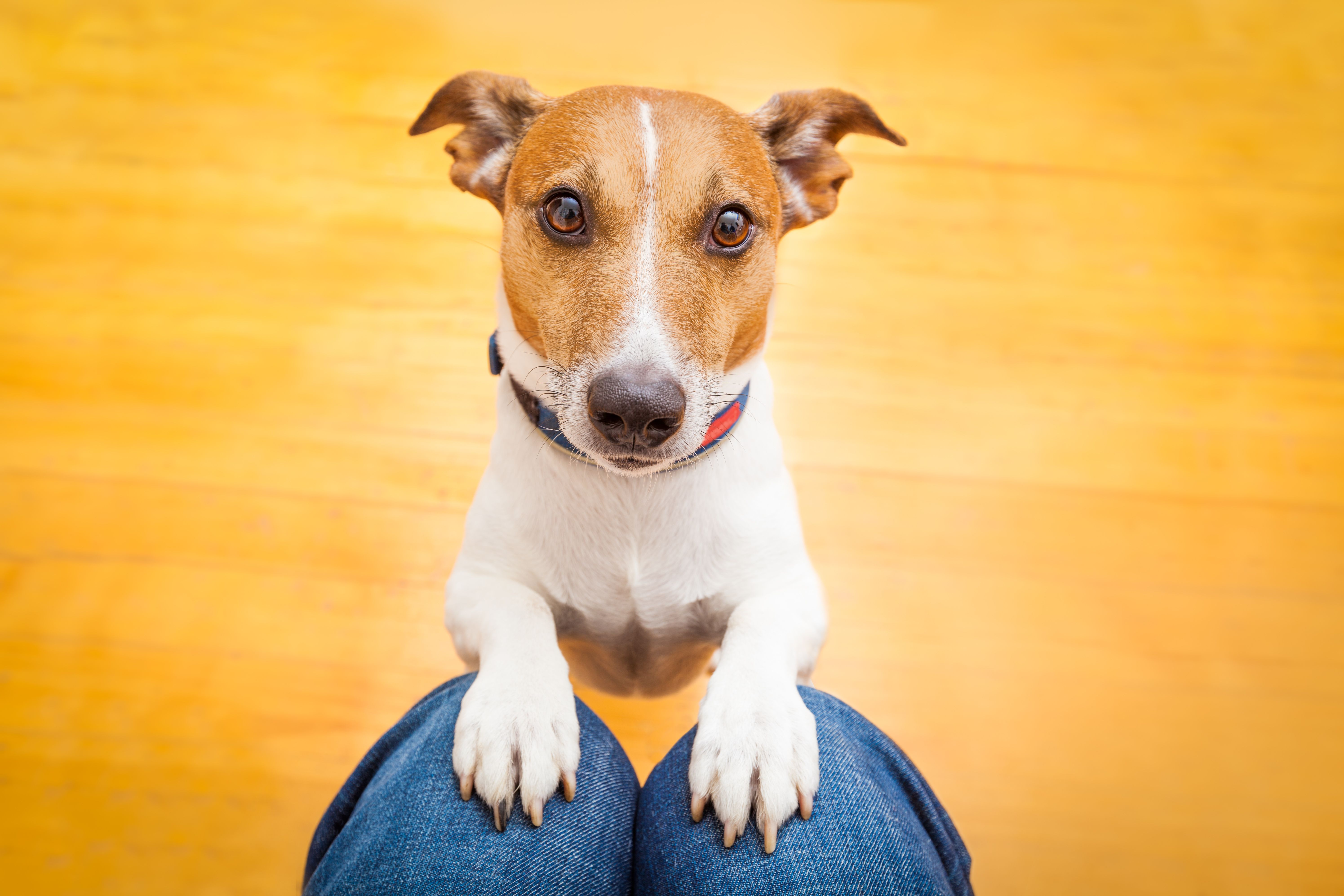 Hey Mommy Could You Please Download The Activ4pets App I Really Want It Pethealth Petcare Saddog Jackrussel Americand Dogs Dog Behavior Aggressive Dog