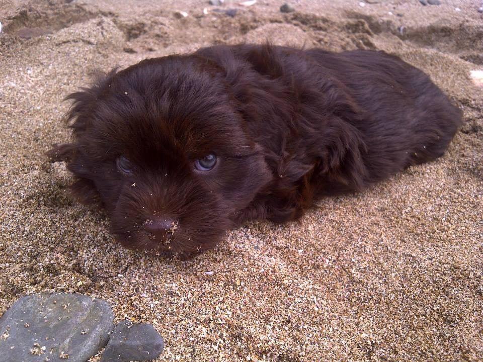 Beautiful Chocolate Brown Adorable Dog - a6b4e2a3a88a1c0978f6123a4e17b09b  Pictures_926110  .jpg