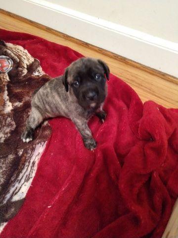 Litter Of 5 Mastiff Puppies For Sale In Burlington Nc Adn 49222 On
