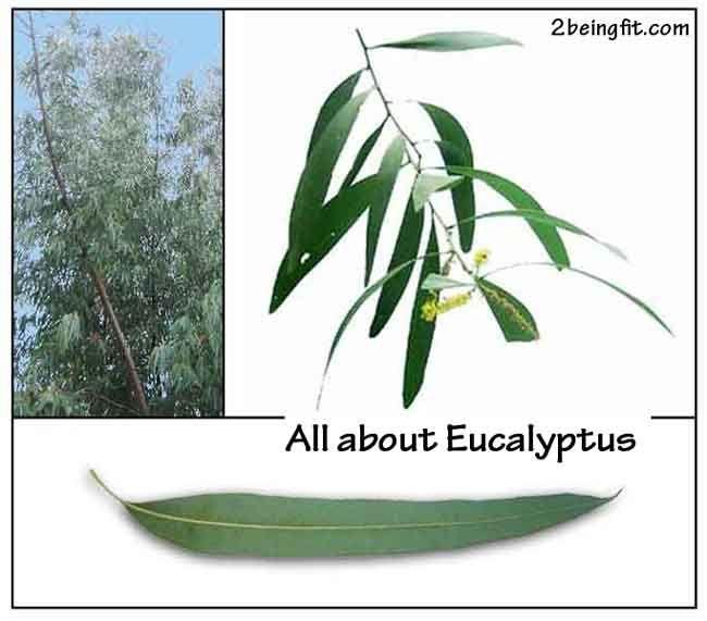 Eucalyptus Proven Benefits Uses Medicinal Herbs Medicinal Plants Eucalyptus Oil Benefits