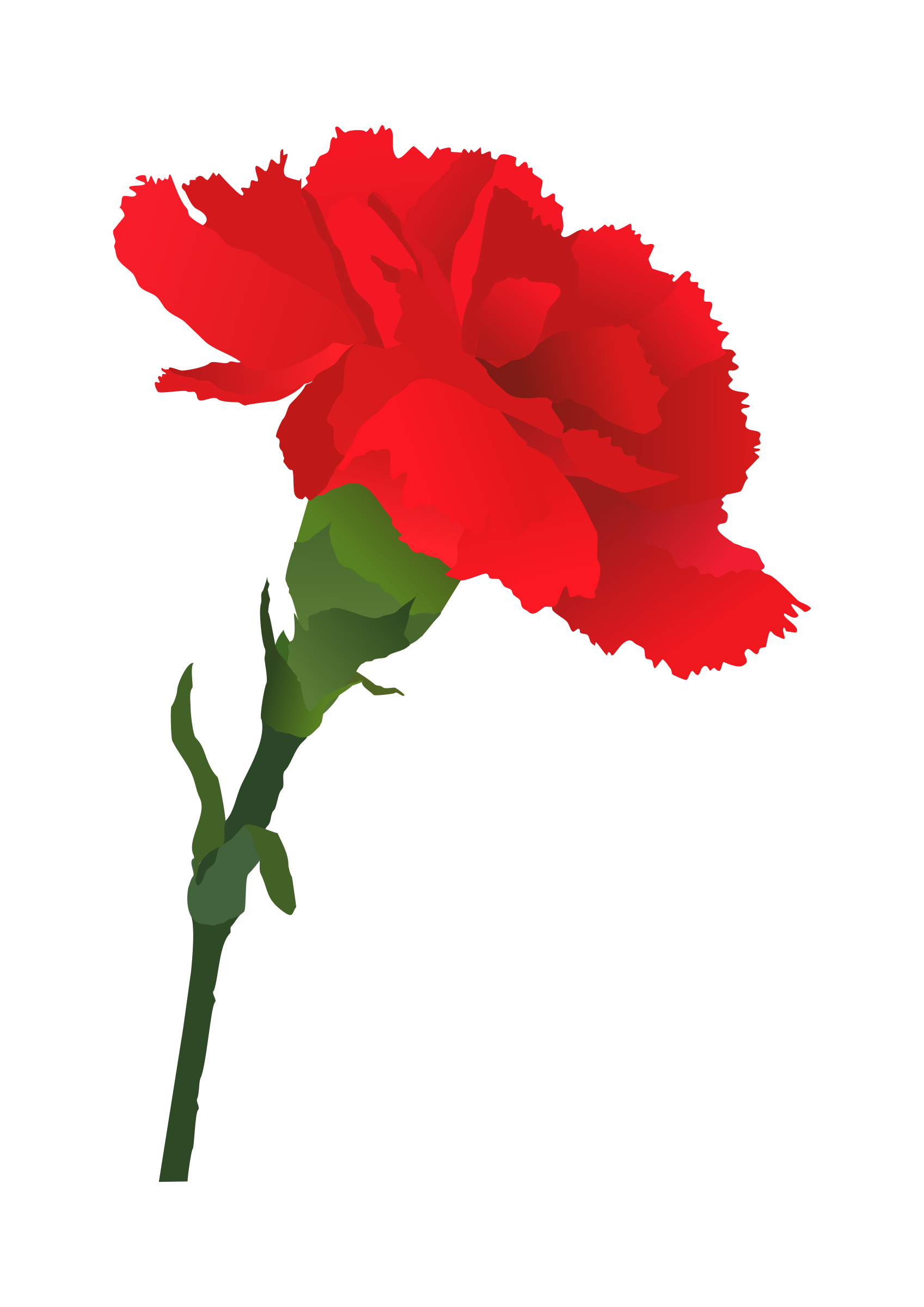 Red Carnation Displaying 20 Images For Red Carnation Drawing