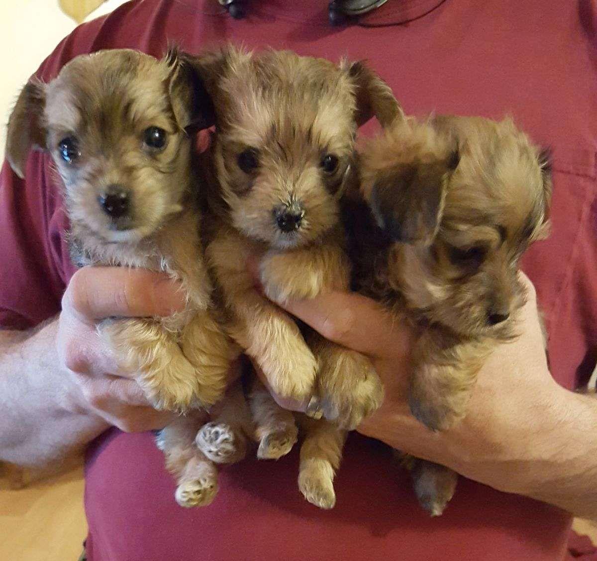 3 4 Yorkie 1 4 Maltese Puppies Yorkshire Terrier Teacup Maltese Puppy Yorkie