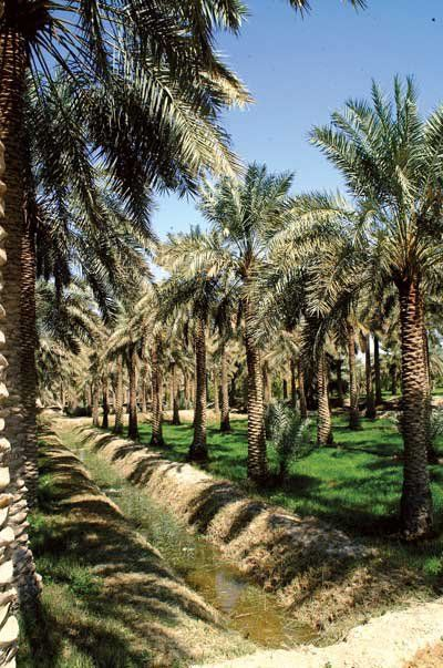 Date Palms- Iraq