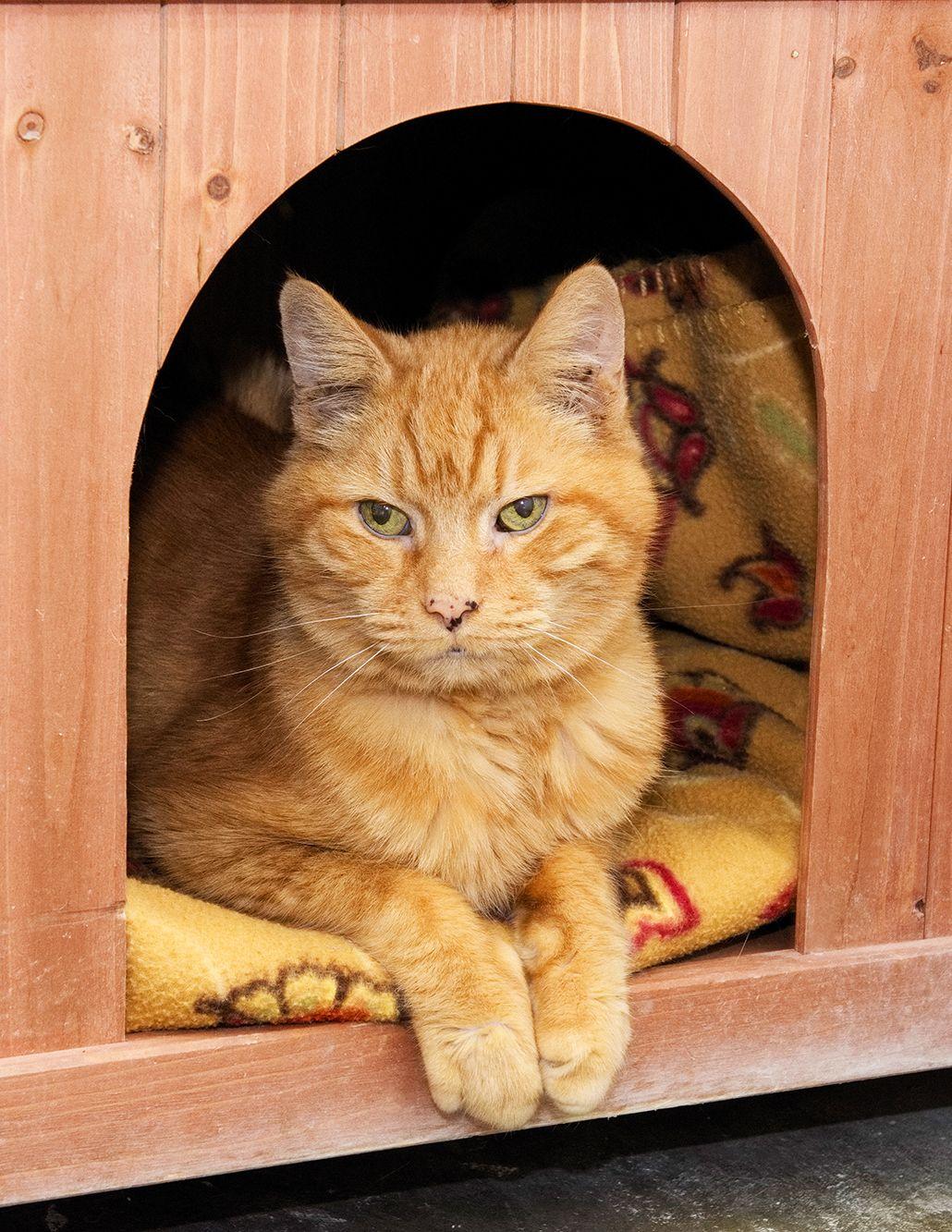 Adopt Lucas on Tabby cat, Orange tabby cats, Beautiful cats