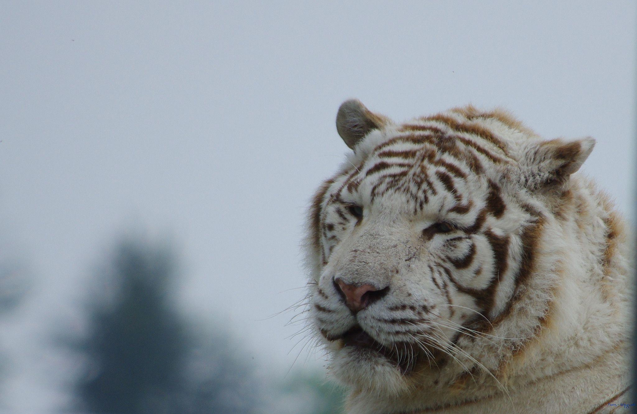 https://flic.kr/p/siQ8z2 | Tigre blanc | Au parc des Félins - 77 Seine & Marne