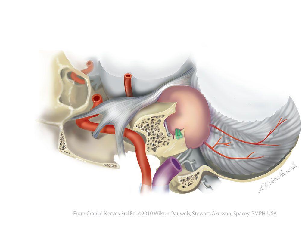 Vestibulocochlear Viii Cranial Nerves Anatomy Pinterest