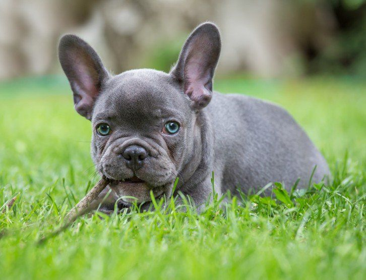 Blue frenchies all about blue french bulldogs