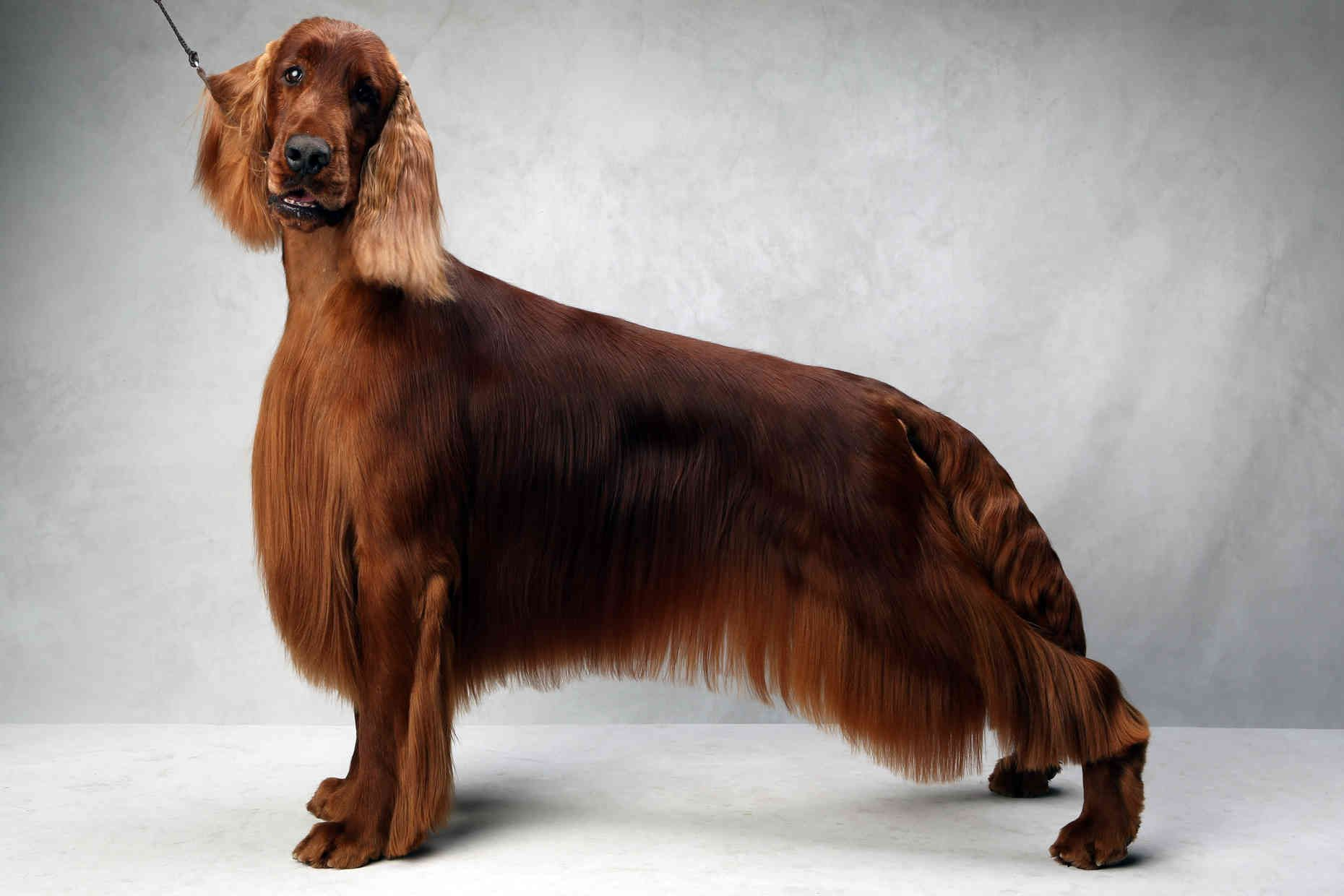 Westminster's Best of Breed in 2020 Westminster dog show