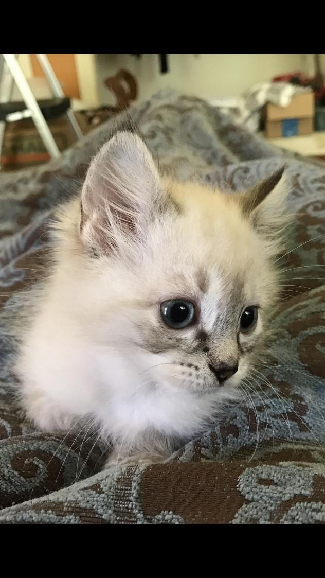 Adopt Lala And Dolly Bonded Ragdoll Sisters On Kitty Animals