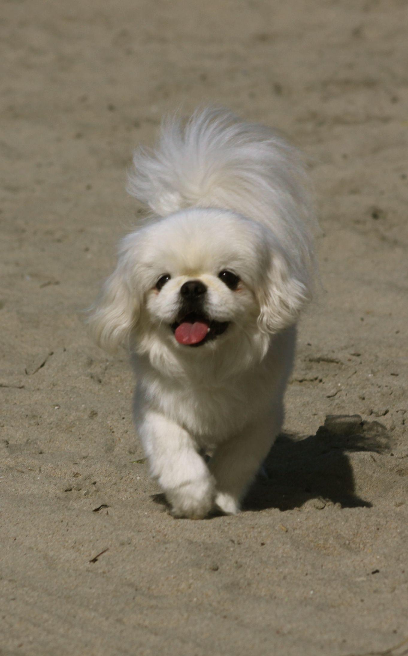 perro pekinés