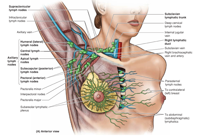 Pin On Lymph System