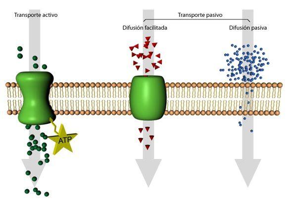 Tipos De Transporte Membrana Plasmatica Biologia Transporte
