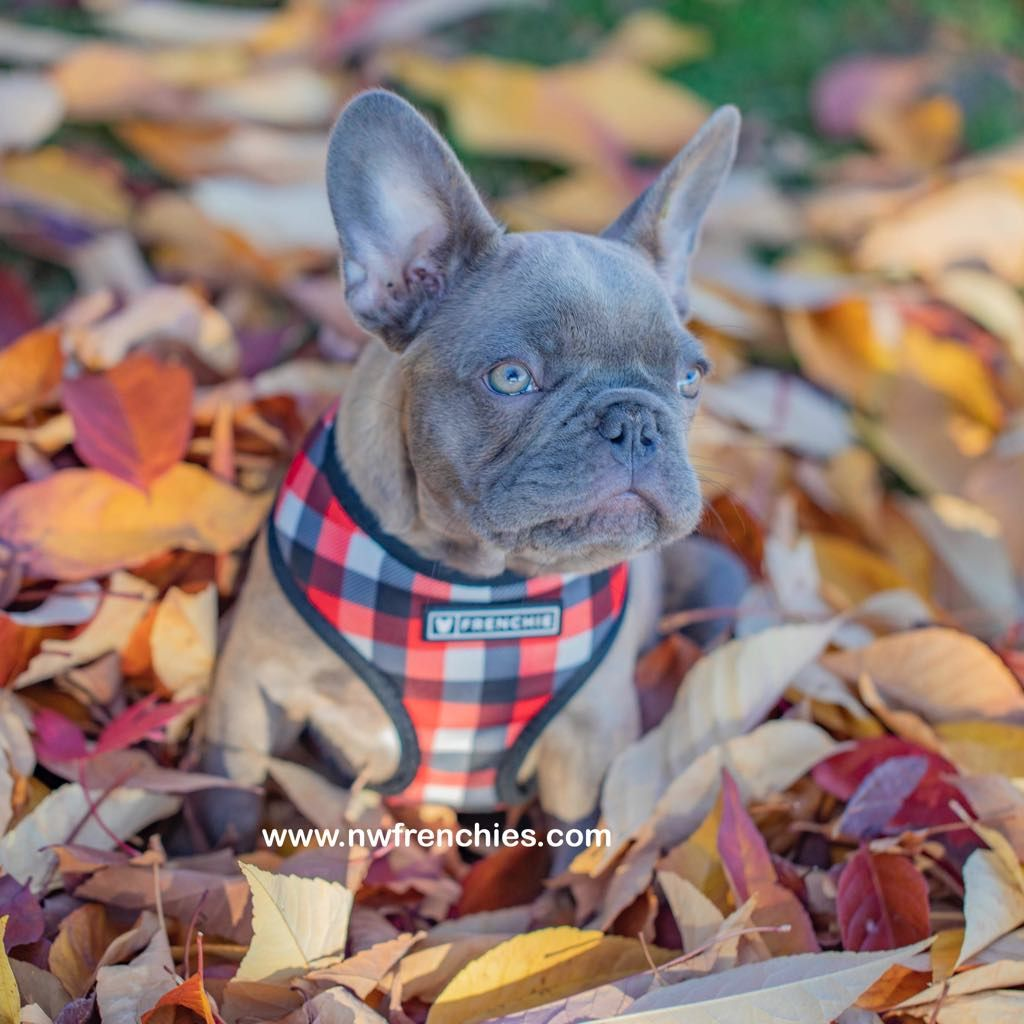 Reserved Akc Lilac French Bulldog Puppies For Sale French