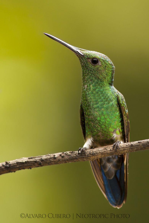 Steely Vented Hummingbird