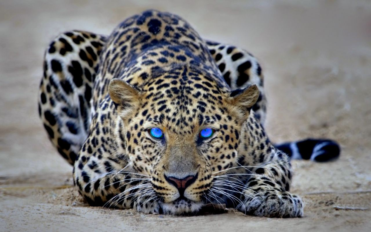 Animated Cheetah Wallpaper animated eyeball desktop   wallpapers high definition