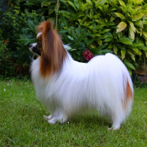 Papillon such long hair! Papillon dog, Papillon dog