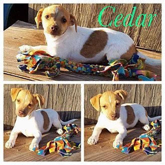 New Milford Ct Chihuahua Mix Meet Cedar A Puppy For Adoption