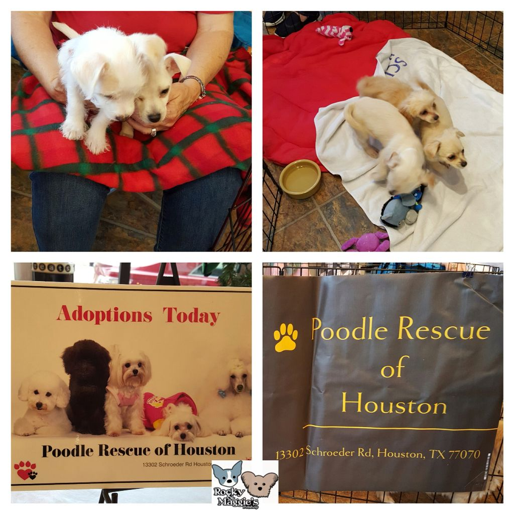 Poodle Rescue Houston Is Here Today Until 4pm Today With A Couple